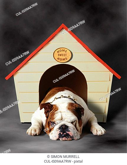 Bulldog sulking in kennel
