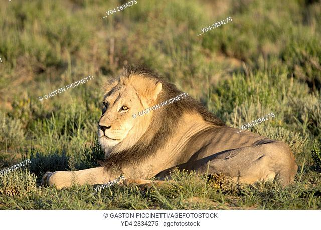 African lion (Panthera leo) - Male, in the bush, Kgalagadi Transfrontier Park, Kalahari desert, South Africa/Botswana