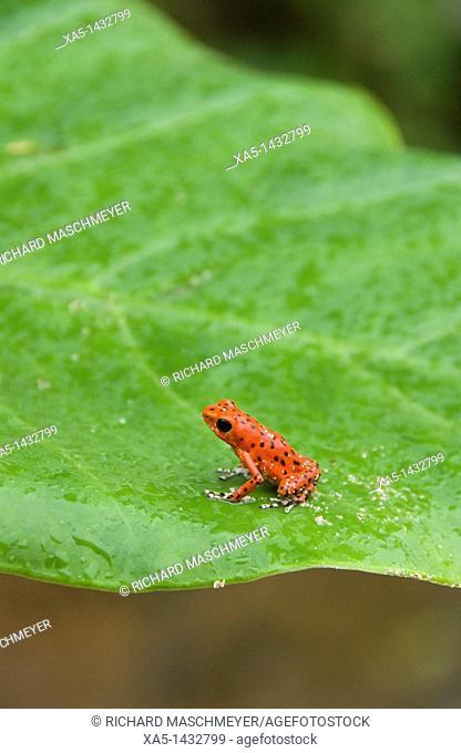 Poison Dart Frog, Red Frog Beach, Isla Bastimentos, Bocas del Toro, Panama