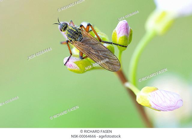 Dance fly (Empis opaca) hunting from Cuckoo Flower (Cardamine pratensis), The Netherlands, Noord-brabant, Veldhoven, Dommeldal