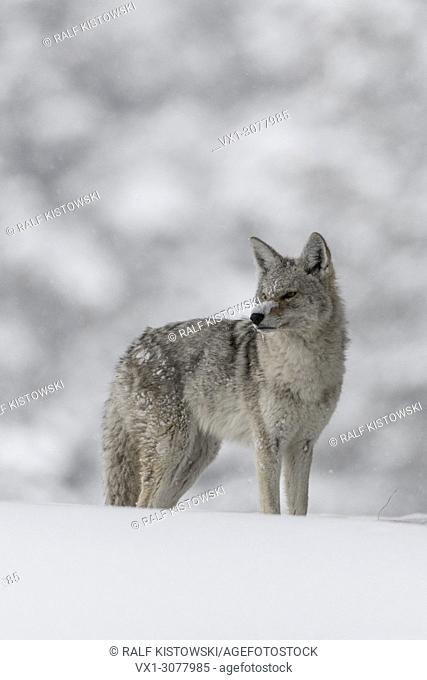 Coyote ( Canis latrans ), in winter, standing in deep snow, watching carefully, in nice snow covered surrounding, looks funny with snow on its nose