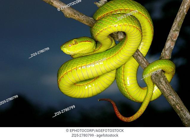 Trimeresurus species. a species of arboreal pit viper. Assam/Arunachal Prades. India