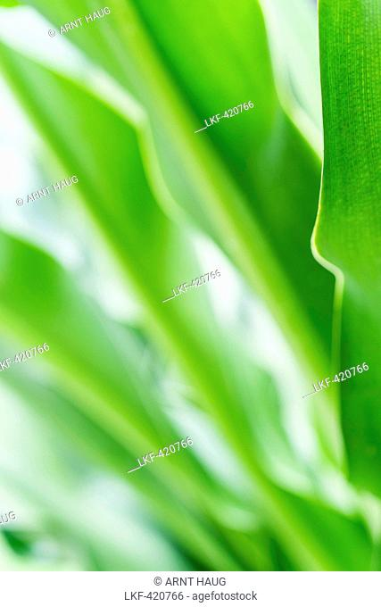 Close of of lush green plants at Mui Ne, south Vietnam, Vietnam, Asia
