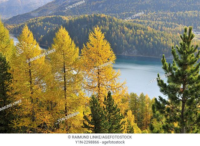 Alpine Landscape with Larch Trees and Lake Silvaplanersee in Autumn, Lake Silvaplanersee, Silvaplana, Engadin, Grisons, Switzerland