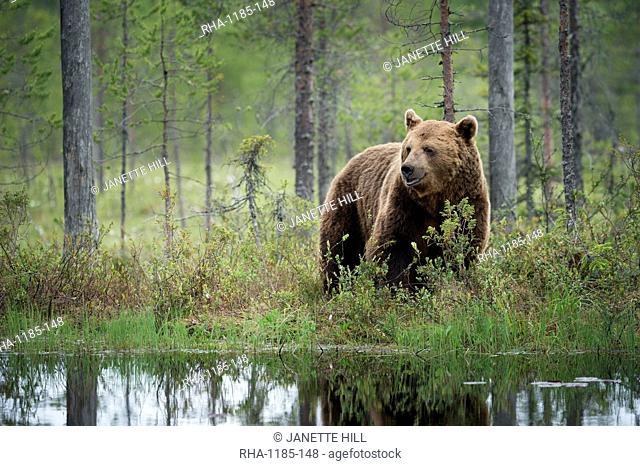 Brown bear (Ursus arctos), Kuhmo, Finland, Scandinavia, Europe