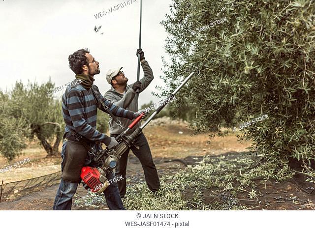 Spain, men using vibrator and stick for olive harvest