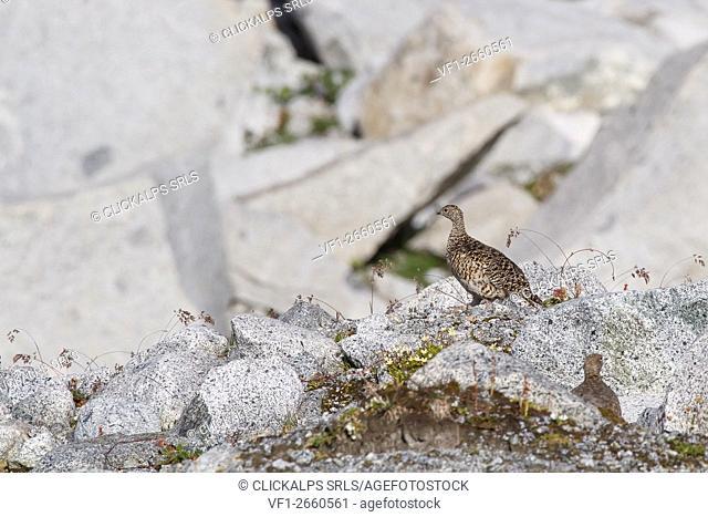 Trentino Alto Adige, Italy. Rock ptarmigan