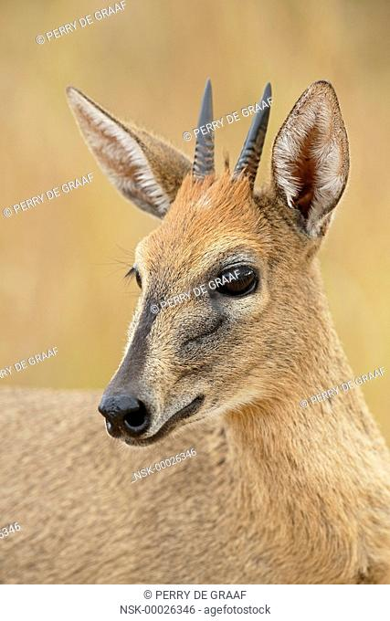 Common Duiker (Sylvicapra grimmia) portrait of a male, South Africa, Mpumalanga, Kruger National Park