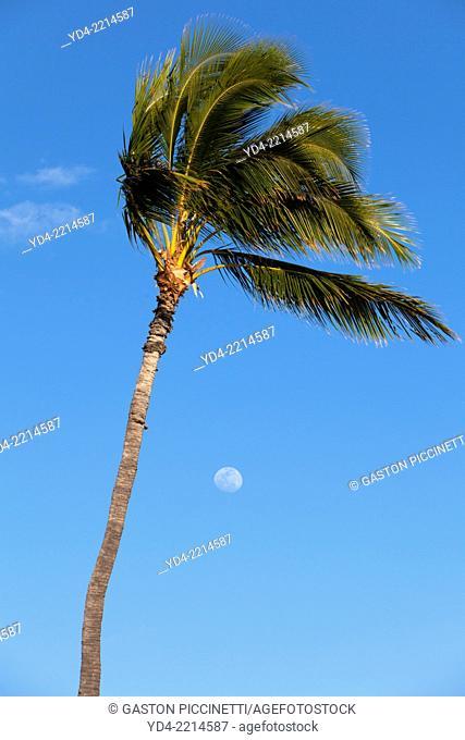 Palm in the beach, Hawaii, USA,