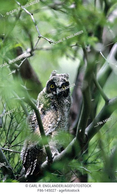 Long-Eared Owl (Asio otus). Anza-Borrego Desert State Park. California. USA
