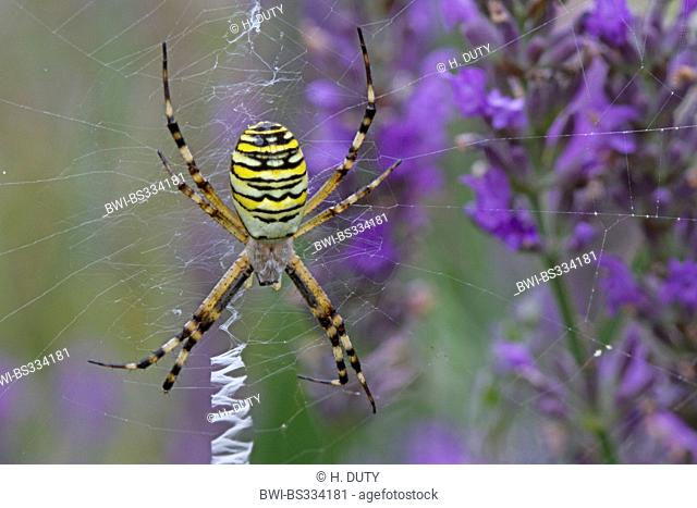 black-and-yellow argiope, black-and-yellow garden spider (Argiope bruennichi), female in its web lurking, Germany, Mecklenburg-Western Pomerania