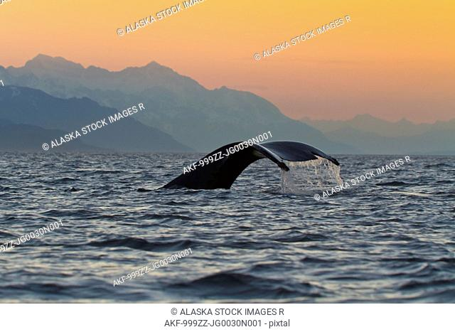 Close up of a Humpback Whale tale dripping water as the whale dives in Lynn Canal, Southeast Alaska, Summer