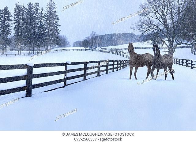 Horse, Horses, winter, snow, corals, fences