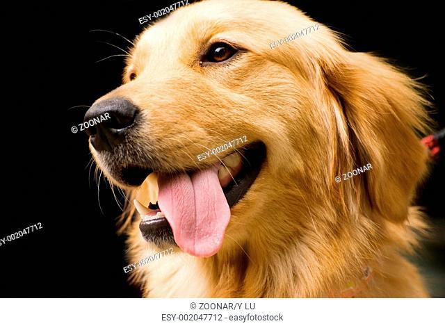 Golden Retriever stick its tongue out