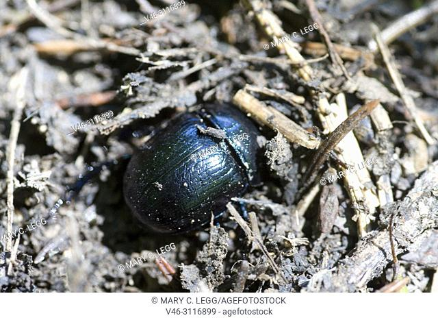 Dor Beetle, Anoplotrupes stercorosus, large, rotund earth-boring dung beetle of deep metallic midnight blue, easily confused with Geotrupes or scarabs