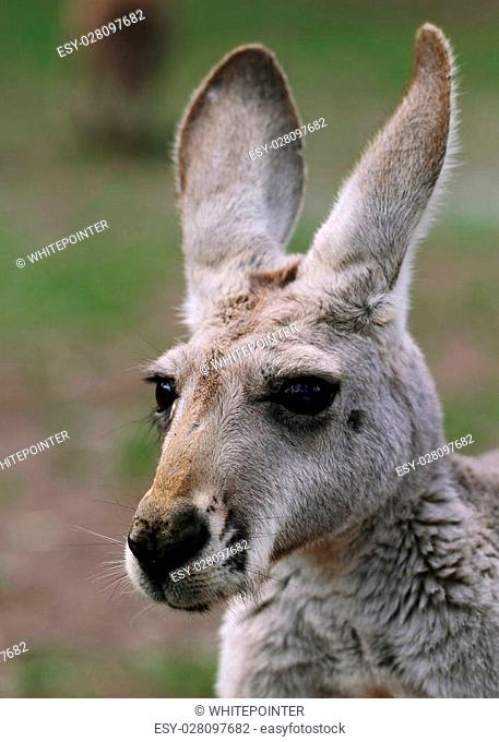 The red kangaroo (Macropus rufus) is the largest of all kangaroos, the largest terrestrial mammal native to Australia