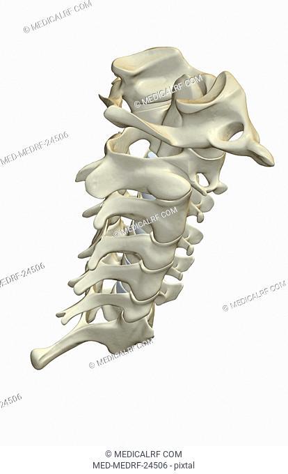 The cervical vertebrae