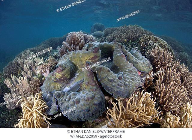 Giant Clam, Tridacna gigas, Raja Ampat, West Papua, Indonesia