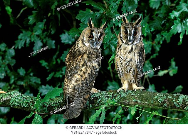 Long-Eared Owl, asio otus, standing on Branch, Normandy