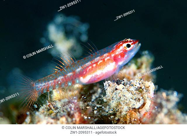 Sigillata Pygmygoby (Eviota sigillata) at Nudi Retreat dive site in Lembeh Straits in Sulawesi in Indonesia