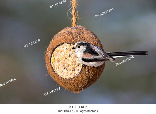 long-tailed tit (Aegithalos caudatus), at handmade bird feed in a coconut, Germany