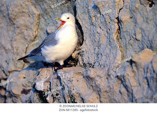 Dreizehenmoewe im Brutkleid sitzt auf einem Felsvorsprung am Vogelfelsen / Black-legged Kittiwake in breeding plumage sitting on a ledge at a bird rock -...
