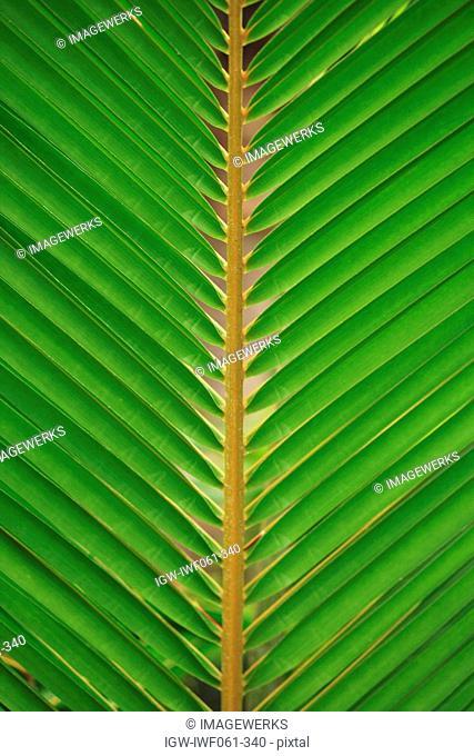 Coconut Palm tree leaf, close-up