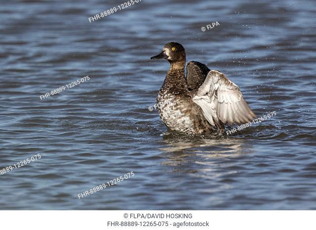 Tufted Duck female washing