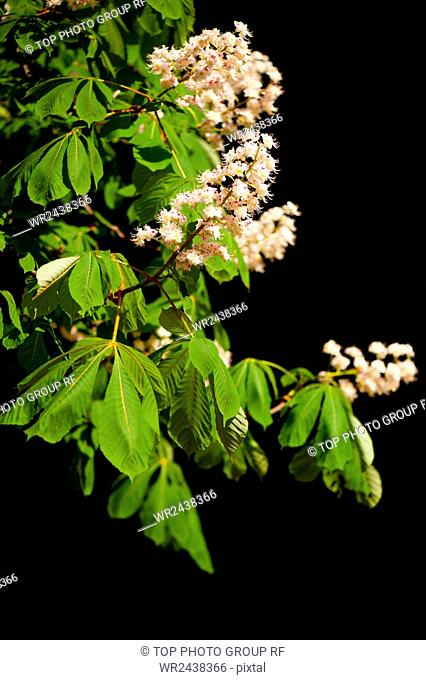 Detail of blooming Aesculus tree on black background, rampant ornamental white flowers on tree. Photo taken in Poland in spring season, open air