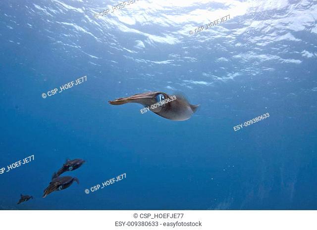 Reef Squid Patrol