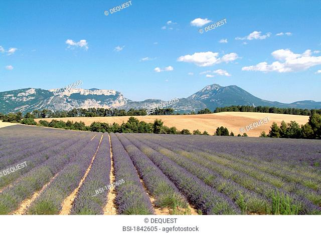 Field of bloomed lanvender on the plateau of Valensole near Riez, Var, France