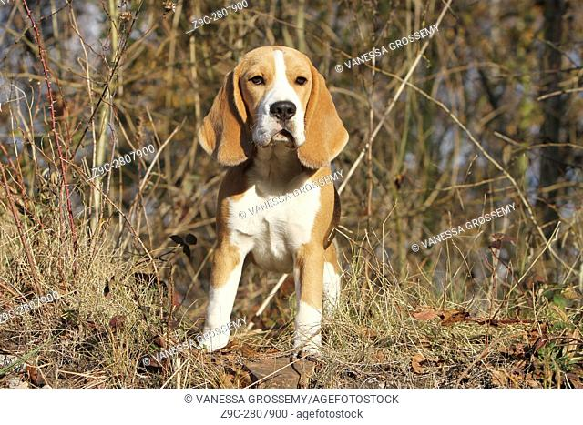 A Beagle dog standing in a wood