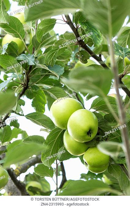 Apple Fruits and Apple Leaves near Bad Schallerbach, Austria