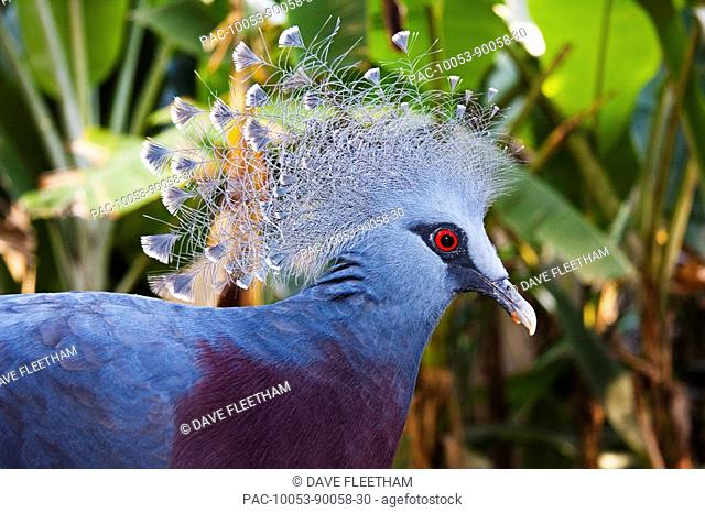 New Guinea, Victoria Crowned Pigeon Goura victoria