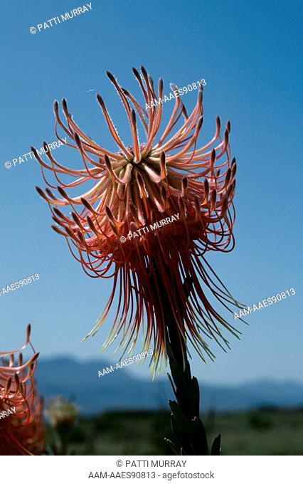 Rocket Fireworks Pincushion (Leucospermum reflexum) Fynbos Community, Bontebok NP, S. Africa