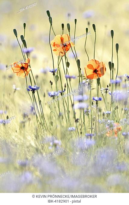 Flowers in cornfield, common poppies (Papaver rhoeas) and cornflowers (Centaurea cyanus), Saxony, Germany