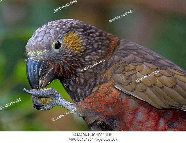North Island Kaka (Nestor meridionalis septentrionalis) feeding, New Zealand