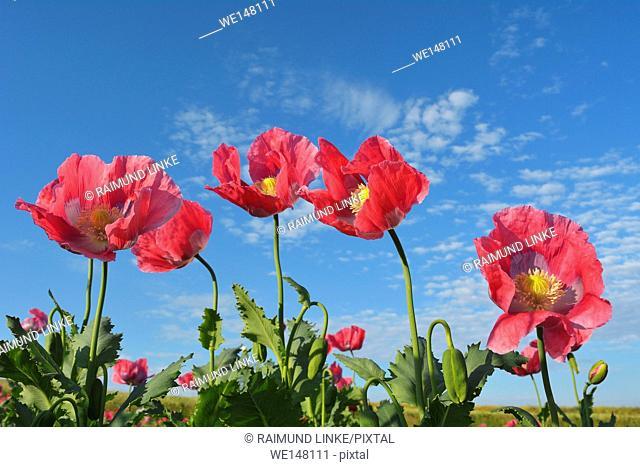 Opium Poppy, Papaver somniferum, Summer, Germerode, Hoher Meissner, Werra Meissner District, Hesse, Germany