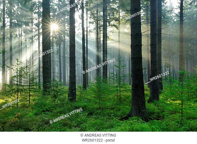 Sun rays breaking through the morning fog in spruce forest, Huertgenwald, North Eifel Nature Park, High Fens-Eifel, North Rhine-Westphalia, Germany