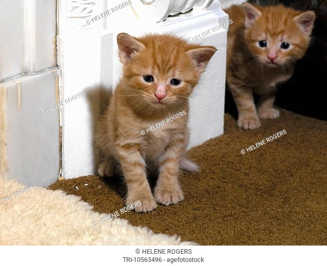 Two Ginger Kittens Three Weeks Old