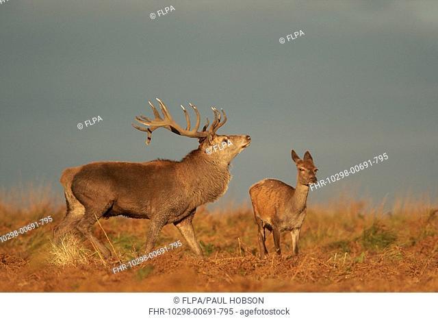 Red Deer Cervus elaphus stag displaying to hind, during rutting season, Bradgate Park, Leicestershire, England