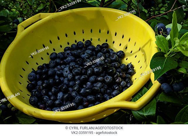 Freshly Picked Blue Berries, Pennsylvania