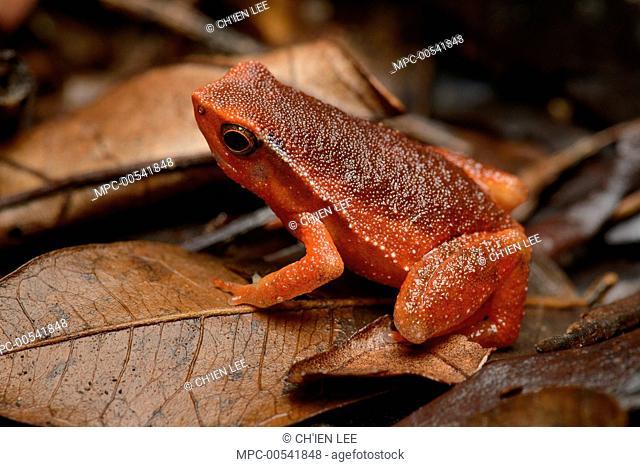 Grainy Frog (Kalophrynus sp), Gunung Gading National Park, Malaysia