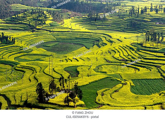 View of field terraces with blooming oil seed rape plants in valley, Luoping,Yunnan, China