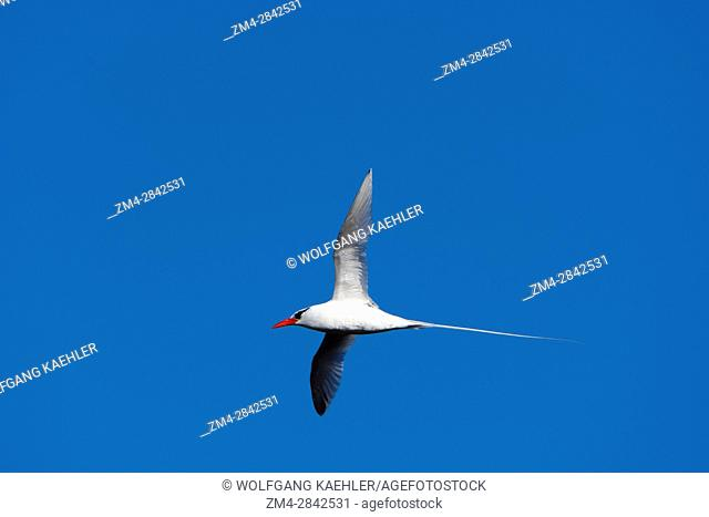 A Red-billed tropicbird (Phaethon aethereus mesonauta) is flying over Genovesa Island (Tower Island) in the Galapagos Islands, Ecuador