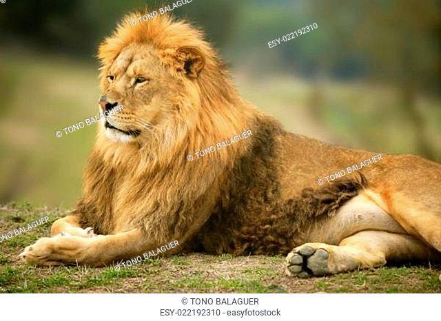 Beautiful Lion wild male animal portrait