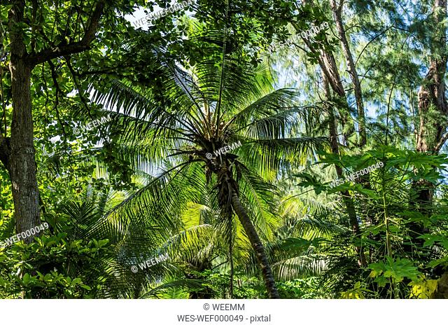 Seychelles, Northern Coral Group, Denis Island, Coconut palm in primeval forest