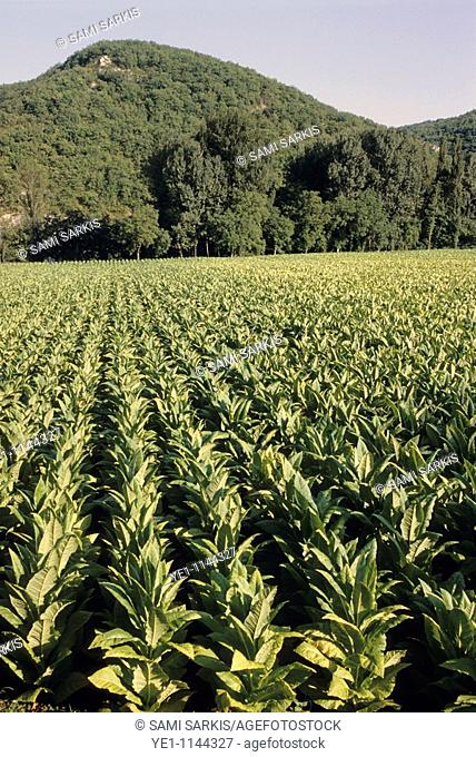 Tobacco field beneath mountain, Lot Valley, Cahors, France
