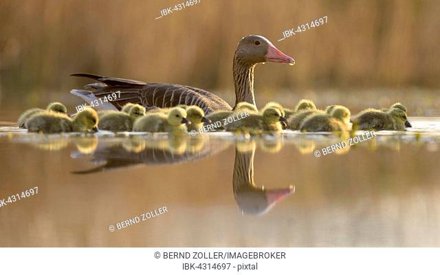 Greylag geese (Anser anser) with goslings, , evening light, Kiskunság National Park, Hungary