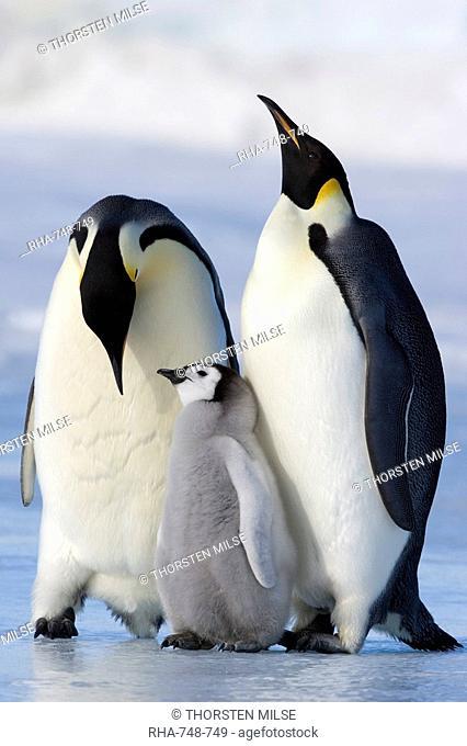Emperor penguins Aptenodytes forsteri and chick, Snow Hill Island, Weddell Sea, Antarctica, Polar Regions